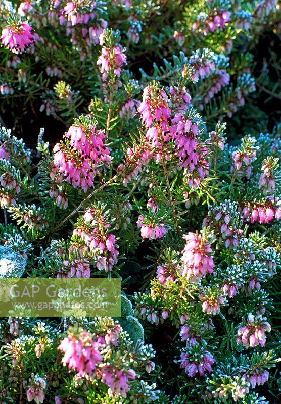 Erica carnea covered in frost - Woodpeckers, Warwickshire NGS