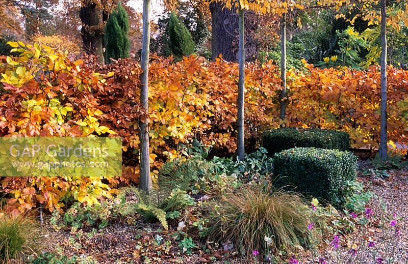 Fagus sylvatica - Beech hedge with autumn foliage in small family garden with Tilia cordata - Pleached lime trees at RGS Wisley, Surrey