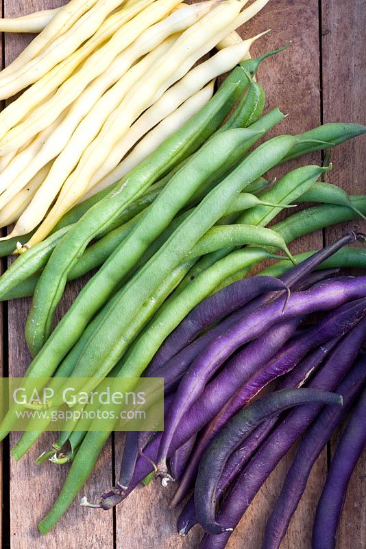 Mixed dwarf French beans - Phaseolus 'Golddukat', 'Divara' and 'Purple Teepee'