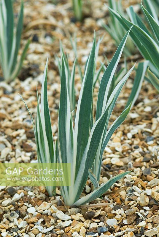 Iris pallida 'Argentea Variegata' growing through a gravel mulch