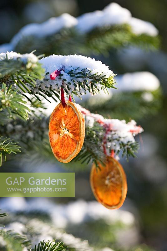 Abies amabilis - Decorated fir with dried orange slices