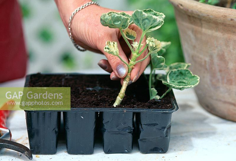 Woman planting cuttings from Pelargoniums