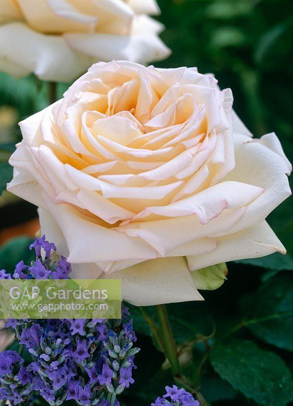 gap gardens rosa 39 westerland image no 0124323 photo. Black Bedroom Furniture Sets. Home Design Ideas