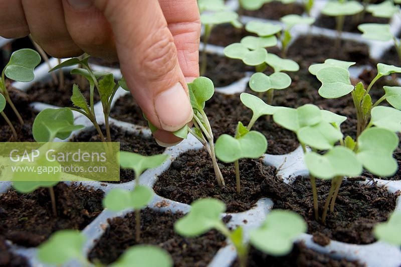 Thinning cell grown swede seedlings