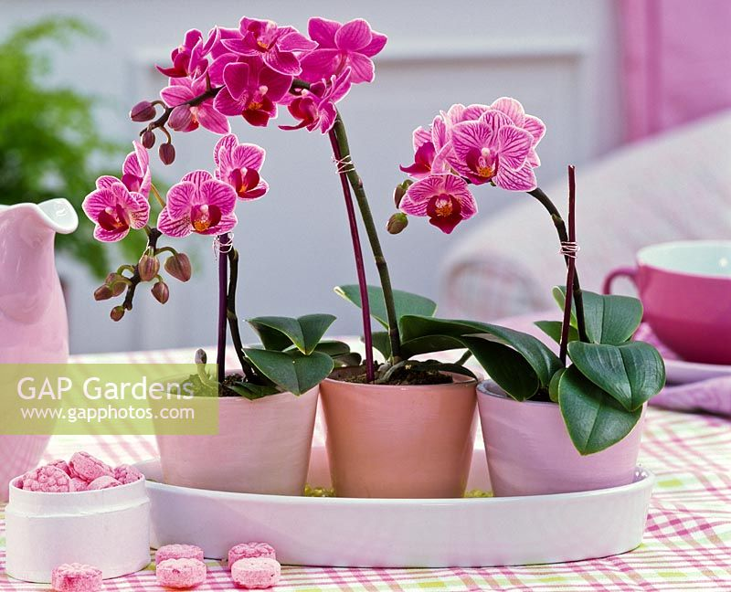 Phalaenopsis 'Little Lady' on table with box of sweets