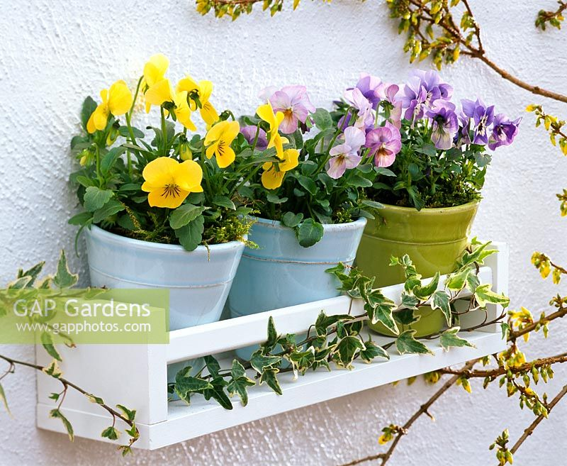 Viola cornuta in glazed containers on wooden shelf on wall decorated with Hedera