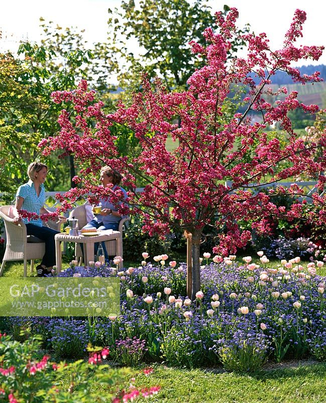 Malus 'Scarlet' in circular border underplanted with Tulipa 'Angelique' and Myosotis. Women sitting drinking coffee in background.