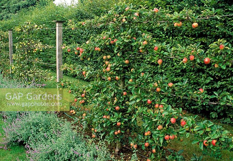 Malus - Apple Espallier