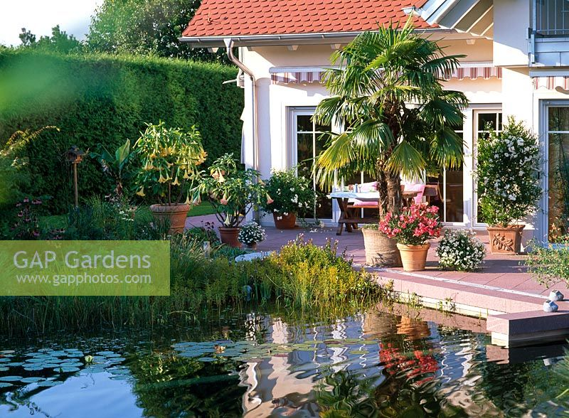 Natural swimming pond and terrace with containers of Trachycarpus fortunei, Nerium, Datura and Solanum of jasminoides