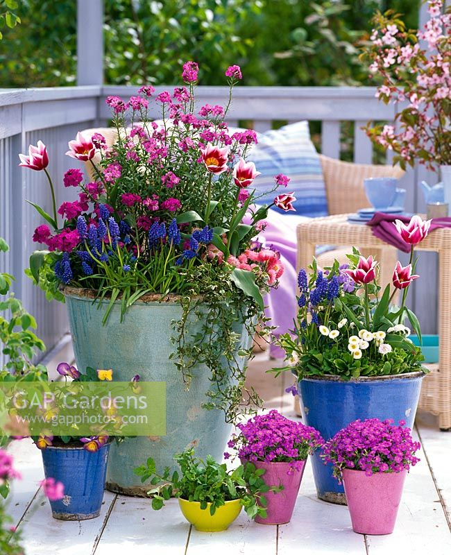 Group of mixed spring containers with Tulipa 'Ballade', Erysimum, Muscari, Bellis, Hedera , Viola 'Etain', Aubrieta, Vinca and Mentha on balcony