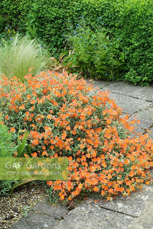 Helianthemum 'Fire Dragon' growing over paving stones