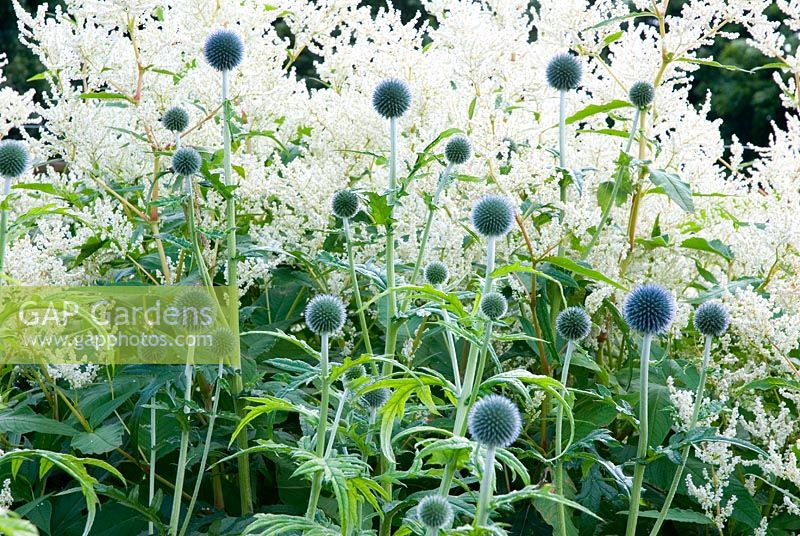 Echinops ritro 'Veitchs Blue' with Persicaria polymorpha