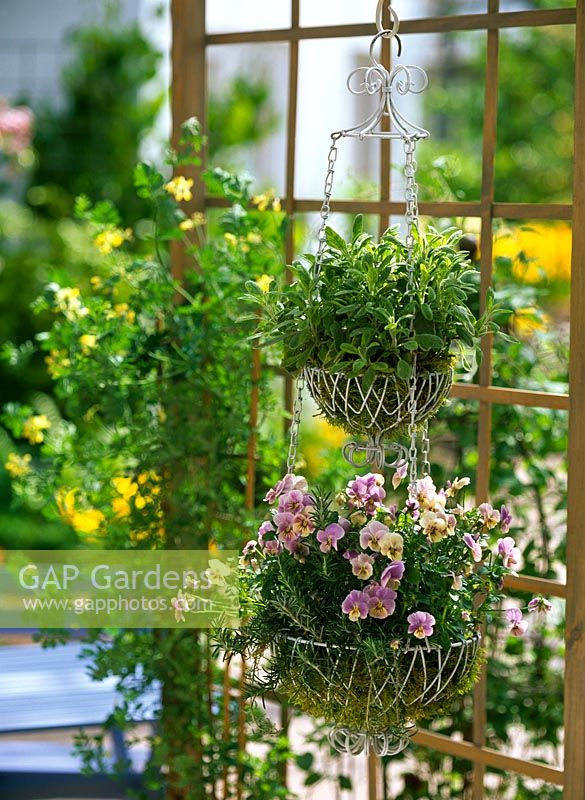 Hanging basket made from wire and planted with Viola cornuta, Rosmarinus and Salvia 'Icterina'