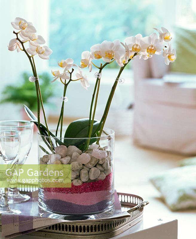 Gap Gardens Phalaenopsis In Glass Vase Filled With Stones And