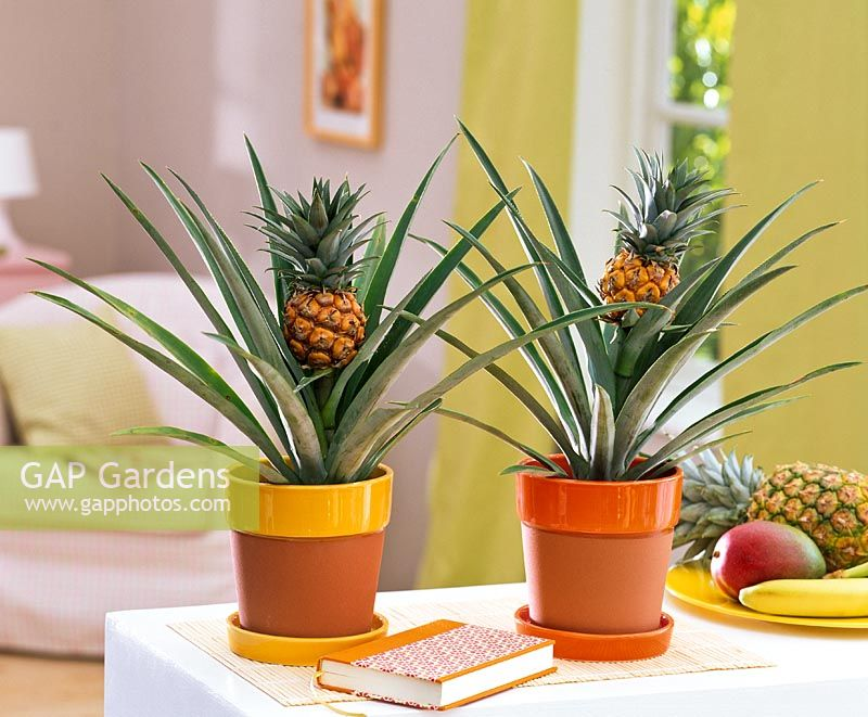 Ananas comosus in containers