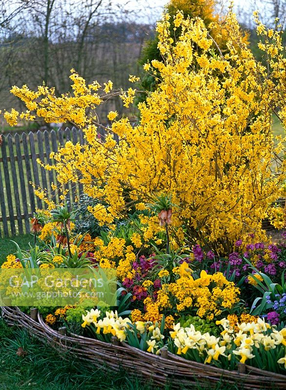 Forsythia underplanted with Erysimum, Narcissus 'Trena', Fritillaria and Euphorbia in circular flowerbed