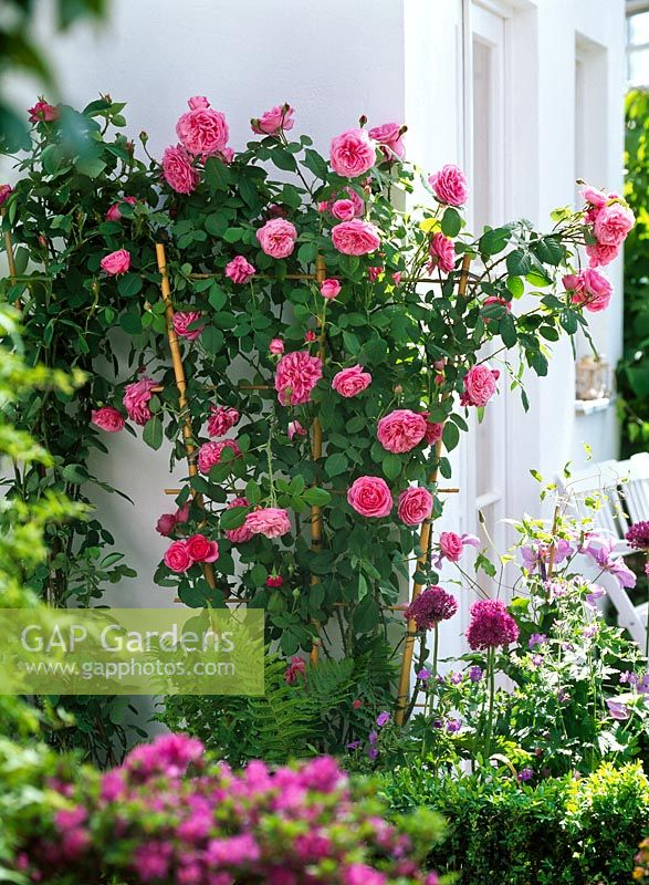 gap gardens rosa 39 gertrude jekyll 39 english rose. Black Bedroom Furniture Sets. Home Design Ideas