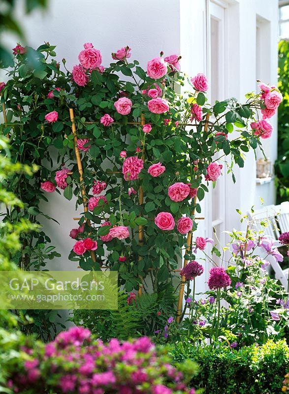 gap gardens rosa 39 gertrude jekyll 39 english rose. Black Bedroom Furniture Sets. Home Design Ideas