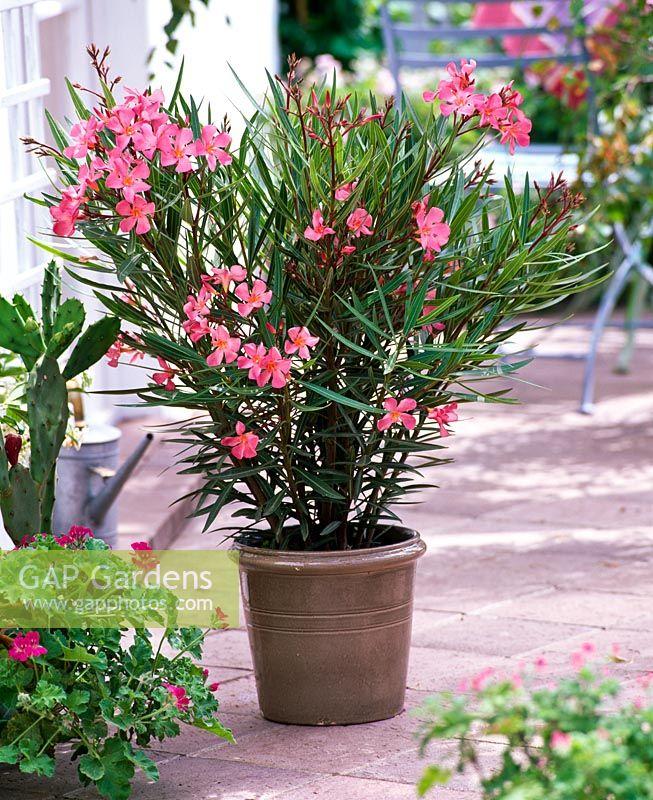 Gap Gardens Nerium Oleander Papa Gambetta Image No