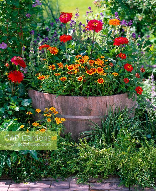 Wooden barrel planted with Zinnia 'Oklahoma' and Zinnia 'Profusion' sat in border with Lonicera nitida 'Lemon Queen' and Carex morrowii