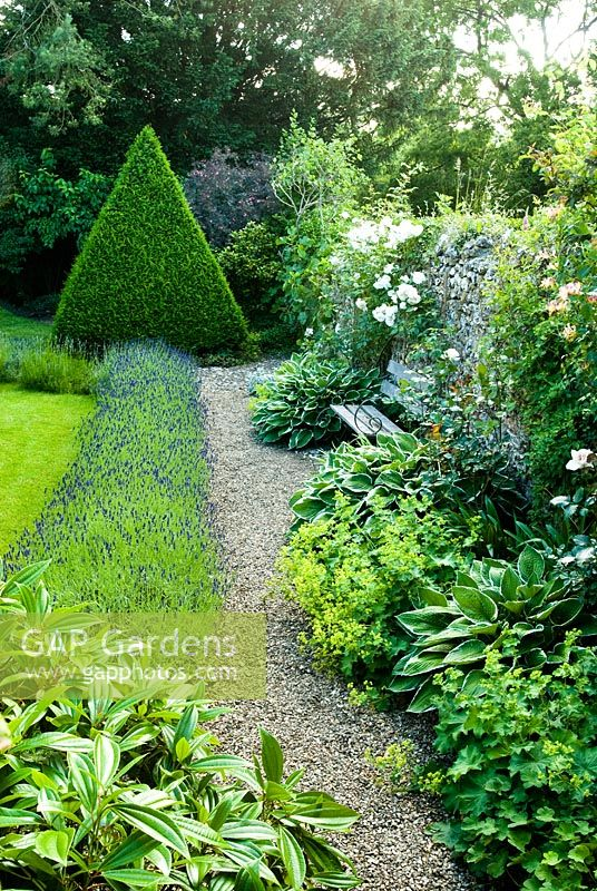 Gravel path with lavender hedge beside lawn, Yew topiary pyramid and garden bench beside old flint wall with Rosa, Hostas and Alchemilla - Cerne Abbas, Dorset