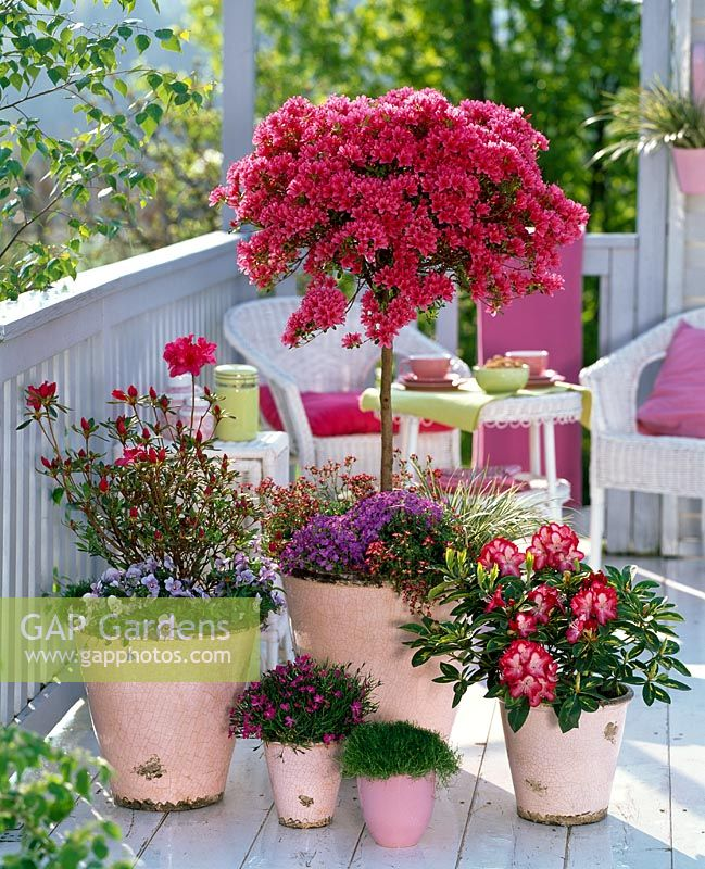 gap gardens rhododendron 39 toreador 39 japanese azalea. Black Bedroom Furniture Sets. Home Design Ideas