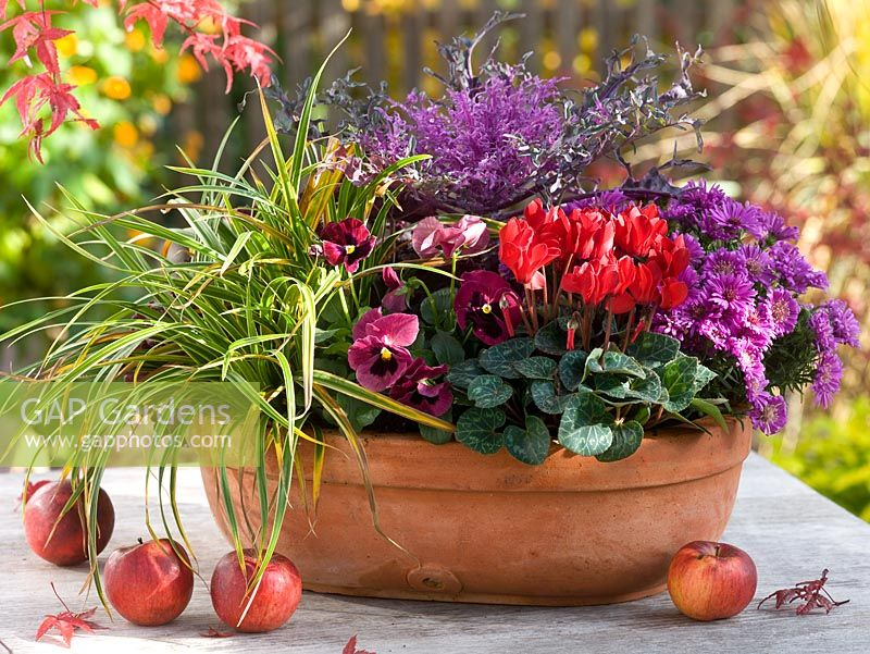 Shallow terracotta container planted with Cyclamen, Aster dumosus, Viola wittrockiana, Brassica 'Peacock' and Carex 'Ice Dance' on table with Malus - Apples