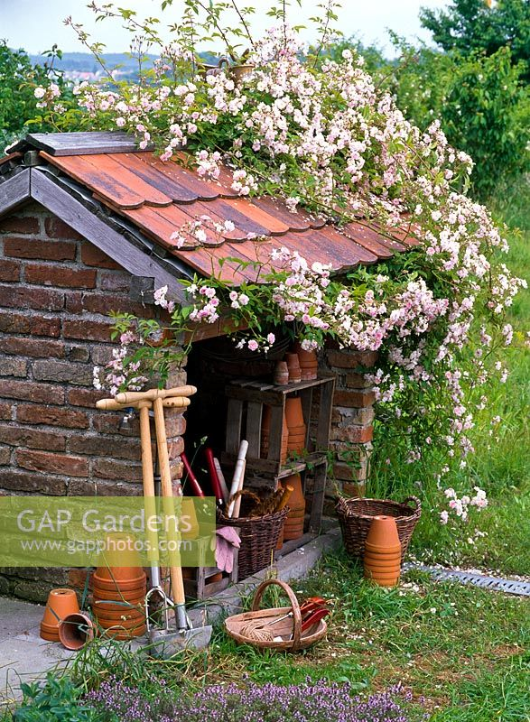 Rosa 'Paul's Himalayan Musk' climbing over rustic potting shed
