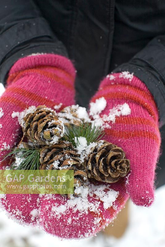 Person with striped mittens holding pinecones of Pinus parviflora 'Glauca'