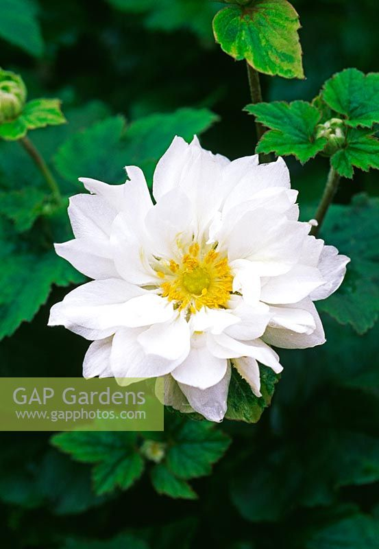 Anemone japonica 'Whirlwind'