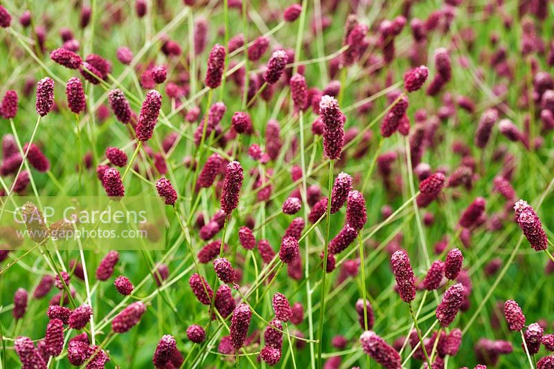 Gap gardens sanguisorba officinalis 39 red thunder for Sanguisorba officinalis red thunder