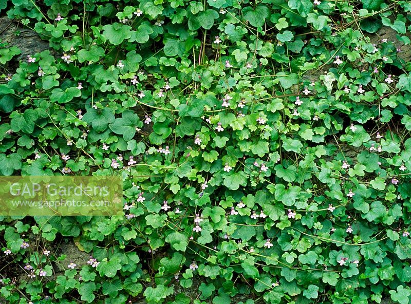 Cymbalaria muralis - Ivy-leaved Toadflax