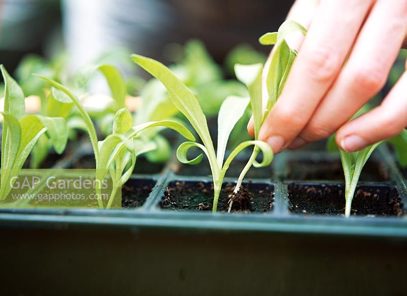 Sowing Calendula seeds - Removing the weaker seedling