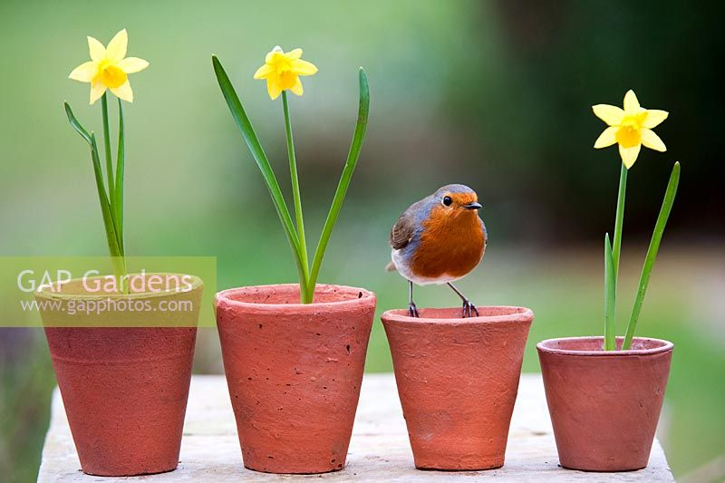 Erithacus rubecula - European Robin sitting on small flowerpots with daffodils