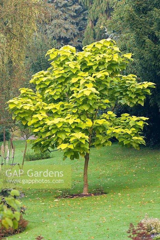 gap gardens catalpa bignonioides 39 aurea 39 indian bean tree image no 0132859 photo by. Black Bedroom Furniture Sets. Home Design Ideas