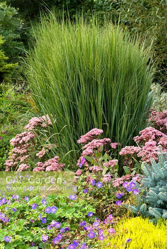 Panicum virgatum 'Northwind', Switch Grass with Erica carnea 'Foxhollow', Heather, Sedum 'Matrona', Stonecrop and Geranium x Rozanne., Cranesbill - The Winter Garden, Bressingham Gardens, Norfolk, UK