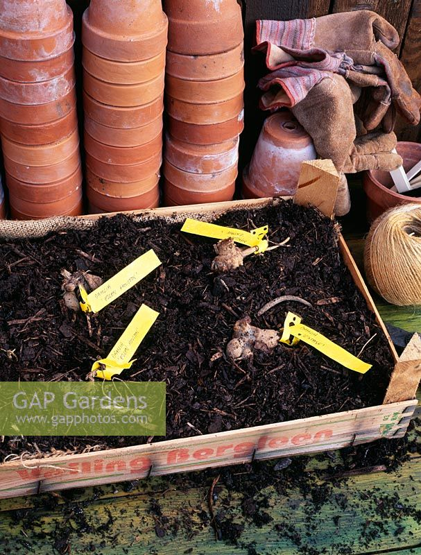 Overwintering Dahlia tubers in tray of bark - Individual named tubers are labelled with tags