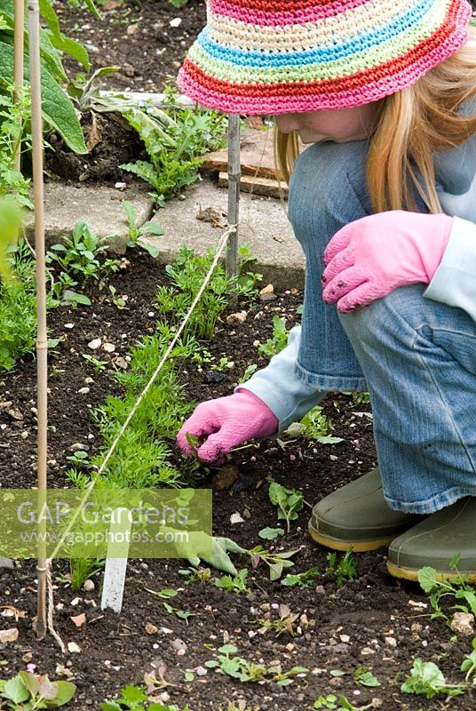 Child weeding annual weeds away from carrot seedlings in an organic vegetable garden