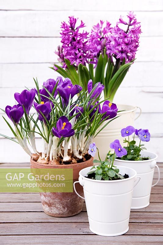 Viola 'Icy Blue' in small white plant pots, purple Crocus in terracotta pot and purple Hyacinthus growing in cream enamel pot