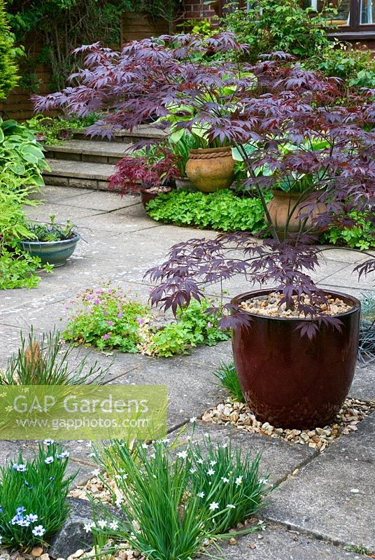 Acer palmatum 'Burgundy Lace' in container on patio with Sisyrinchium montanum growing between paving