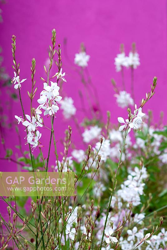 Gaura lindheimeri 'Whirling Butterflies' with Stipa tenuissima in the Shades of Barragan Garden - Hampton Court Flower Show 2008