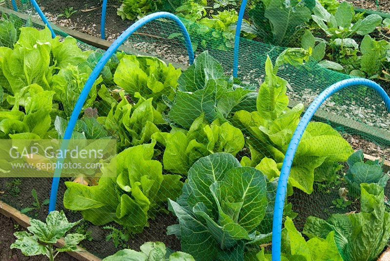 Netting supported by hoops protecting vegetables