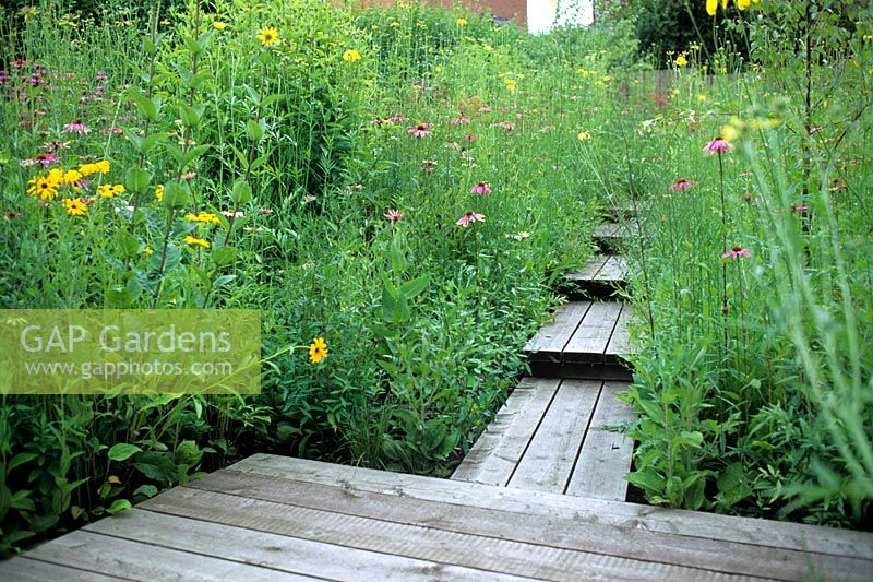 Urban wild meadow garden with wooden decked pathway for access. Perennial planting including Echinacea and Rudbeckia