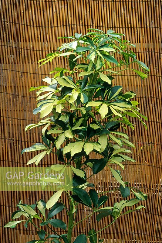 gap gardens schefflera arboricola 39 gold capella 39 umbrella tree image no 0136025 photo. Black Bedroom Furniture Sets. Home Design Ideas