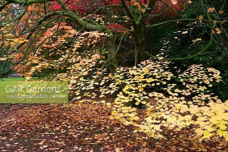 Gap Gardens Acer Japonicum Vitifolium Full Moon Maple Image