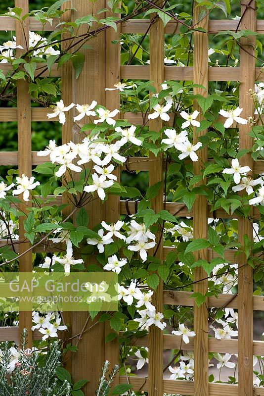 gap gardens clematis montana var wilsonii growing up. Black Bedroom Furniture Sets. Home Design Ideas