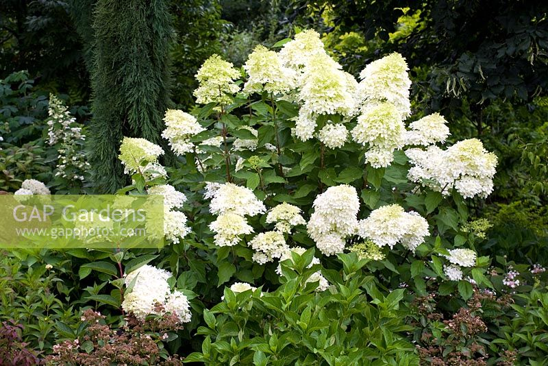 gap gardens hydrangea paniculata 39 phantom 39 agm image no 0136253 photo by jonathan buckley. Black Bedroom Furniture Sets. Home Design Ideas