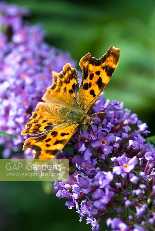 Comma on Buddleja