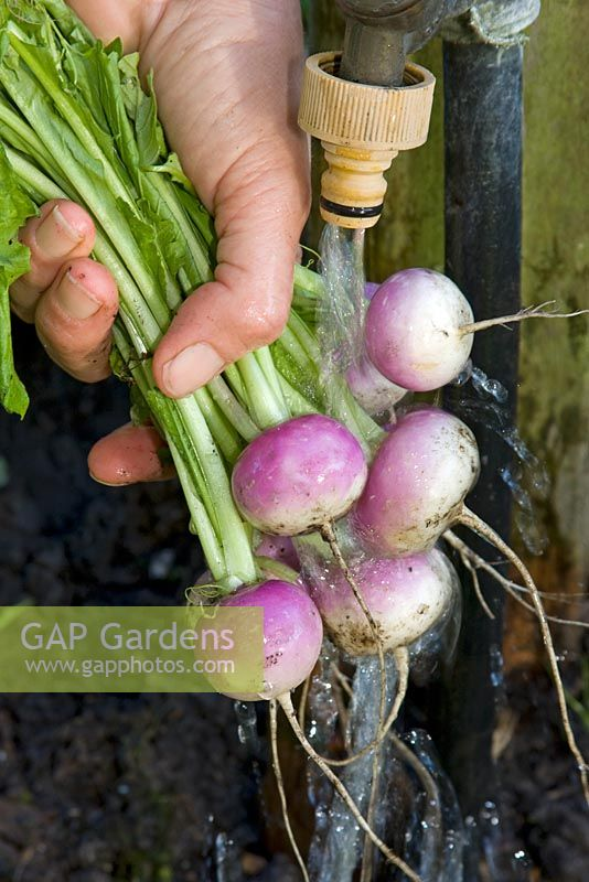 Washing baby turnips