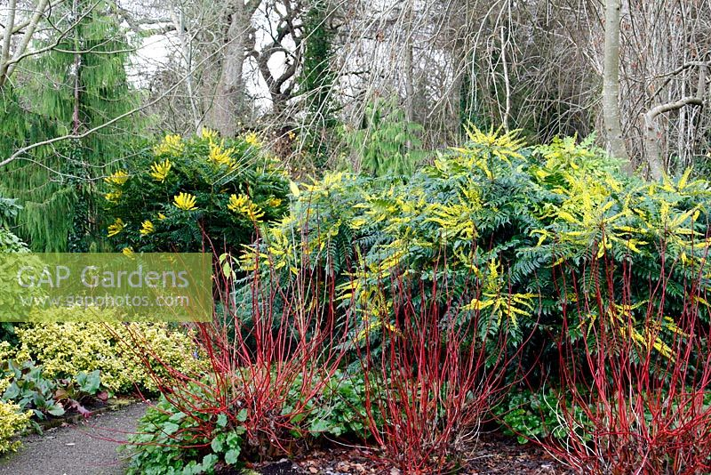 Mahonia x media 'Buckland' on right,  Mahonia x media 'Lionel Fortescue' AGM on left and Cornus alba 'Sibirica' in The Winter Garden at RHS Rosemoor Garden, Devon